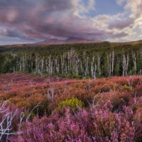 Mount Ngauruhoe, blühende Heidekräuter (Ericaceae), Tongariro Nationalpark, Manawatu-Manganui, Nordinsel, Neuseeland