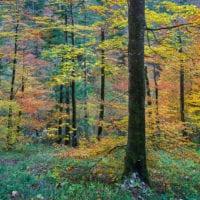 Farbenfroher Buchenwald in Slovenien