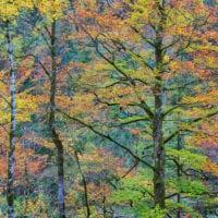 Buchen in Herbstkleid, Österreich