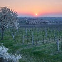 Kirschblüte Burgenland